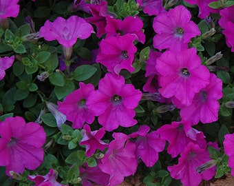 LAVENDER WAVE Petunia Seeds - Spreading, Trailing Habit, High Quality & Germination, Fresh (10 seeds)