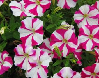 PICOBELLA ROSE STAR Petunia Seeds - Tiny Blooms, Easy Germination, Fresh Quality (30 - 35 seeds)
