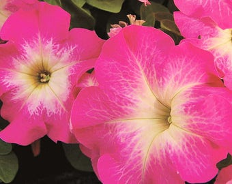 LIMBO ROSE MORN Petunia Seeds - High Quality Seed, Wet Tolerance, Stunning Color (30 - 35 seeds)