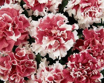 Cascade RED PIROUETTE Seeds - Huge, Double Blooms, High Germination, Fresh (30 - 35 seeds)