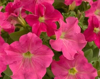 RAMBLIN SHADES O'PINK Petunia Seeds - Trailing Petunia, Large Flowers, Fresh & High Quality Seed (10 seeds)