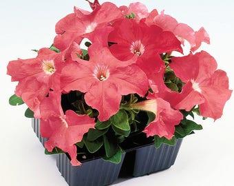 LIMBO SALMON Petunia Seeds - High Quality Seed, Wet Tolerance, Stunning Color (30 - 35 seeds)