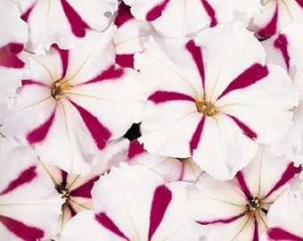 CELEBRITY BURGUNDY STAR Petunia Seeds - Best Wet Tolerance, High Quality & Germination, Fresh Seed, Strong Color (30 - 35 seeds)