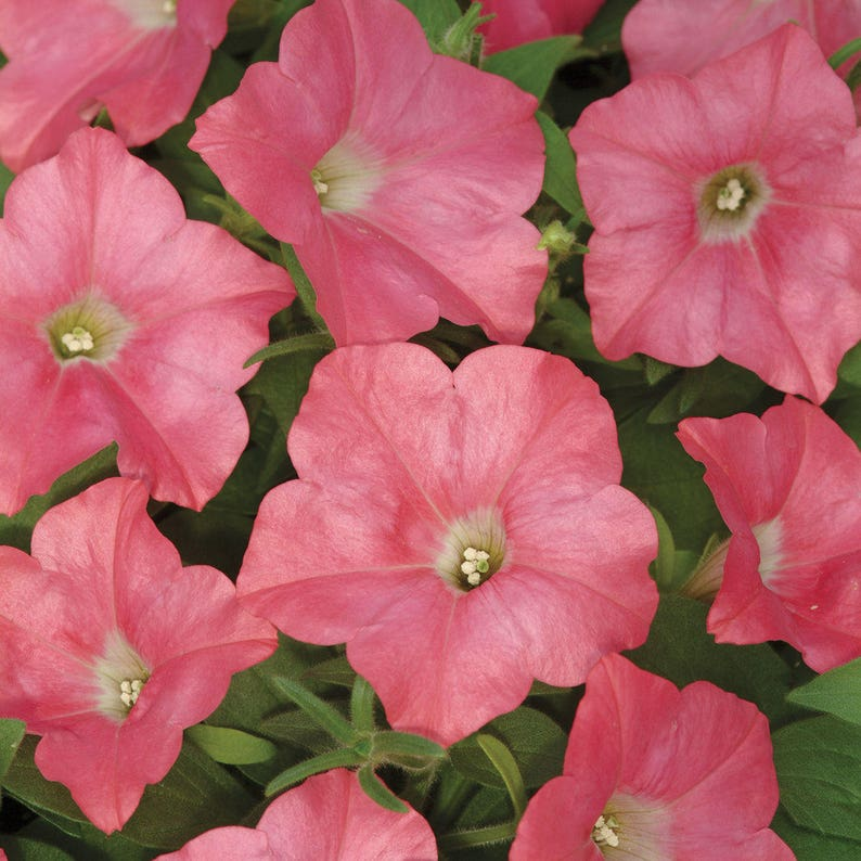 Easy Wave Coral Reef Petunia Seeds Spreading Trailing Etsy