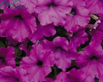 RAMBLIN VIOLET Petunia Seeds - Trailing Petunia, Large Flowers, Fresh & High Quality Seed (10 seeds)