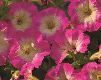 PICOBELLA ROSE MORN Mini Petunia Seeds - Tiny Blooms, Easy Germination, Fresh Quality (30 - 35 seeds)