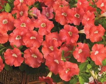 PICOBELLA SALMON Mini Petunia Seeds - Tiny Blooms, Easy Germination, Fresh Quality (30 - 35 seeds)