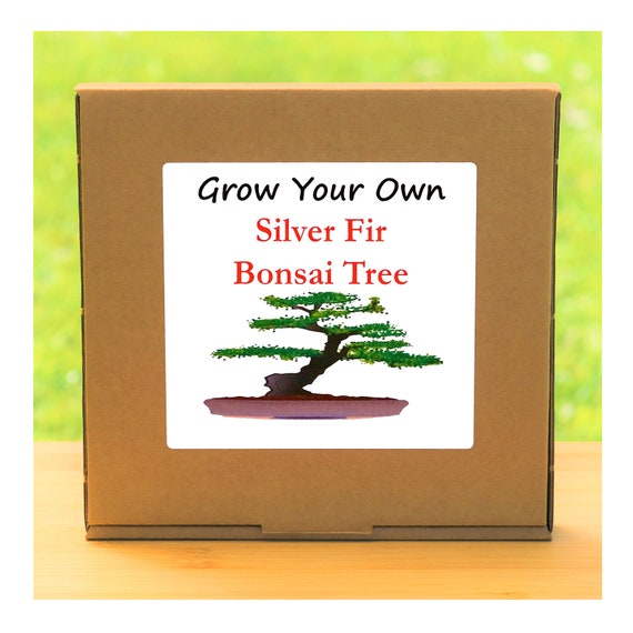Gardening Gift - Grow Your Own Silver Fir Bonsai Tree Kit