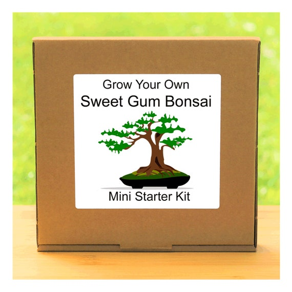 Grow Your Own Sweet Gum Bonsai Tree – Complete beginner friendly indoor gardening starter kit – Gift for men, women or children