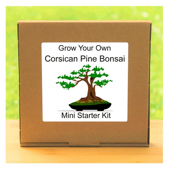 Grow Your Own Corsican Pine Bonsai Tree – Complete beginner friendly indoor gardening starter kit – Gift for men, women or children