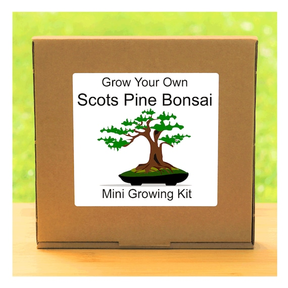 Grow Your Own Scots Pine Bonsai Tree – Complete beginner friendly indoor gardening starter kit – Gift for men, women or children