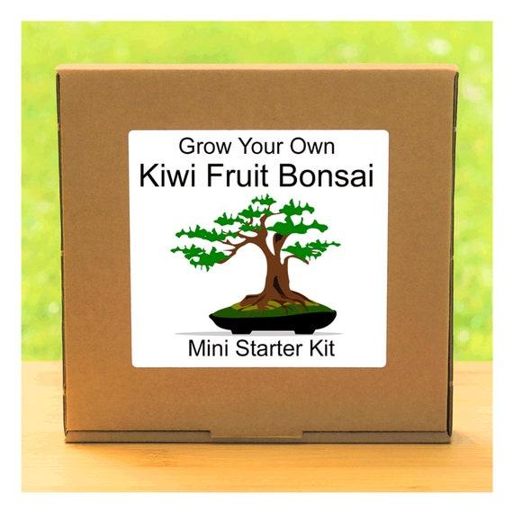 Grow Your Own Kiwi Fruit Bonsai Tree Growing Kit – Complete beginner friendly indoor gardening starter kit – Gift for men, women or children