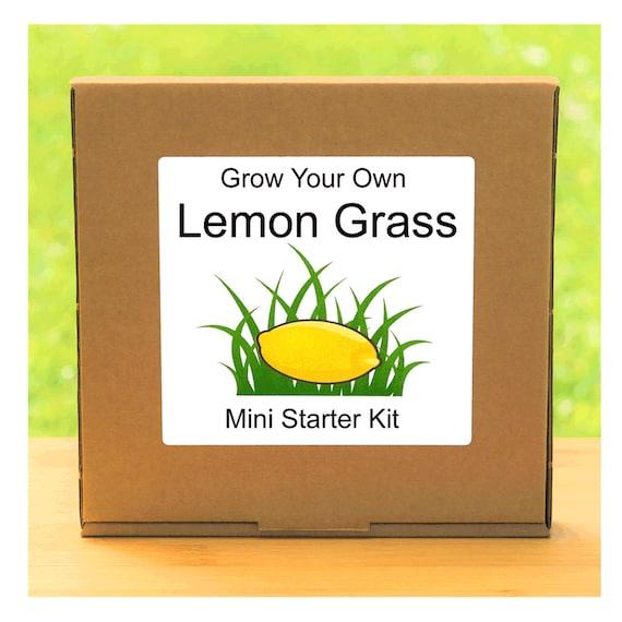 Grow Your Own Thai Lemon Grass Herb Growing Kit – Complete beginner friendly indoor gardening starter kit – Gift for men, women or children