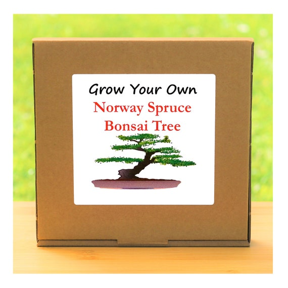 Gardening Gift - Grow Your Own Norway Spruce Bonsai Tree Kit