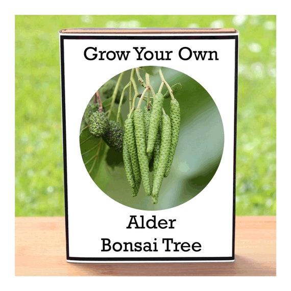 Alder Bonsai Tree Growing Kit – Indoor Grow Your Own Planting Kit