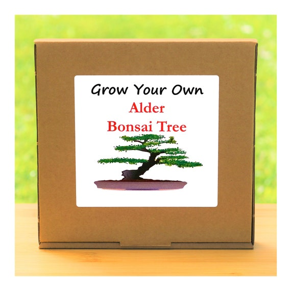 Gardening Gift - Grow Your Own Alder Bonsai Tree Kit