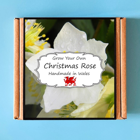 Grow Your Own Christmas Rose Plant Kit - indoor gardening gift for adults or children - perfect birthday gift