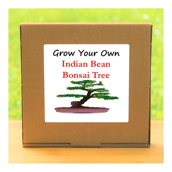 Gardening Gift - Grow Your Own Indian Bean Bonsai Tree Kit