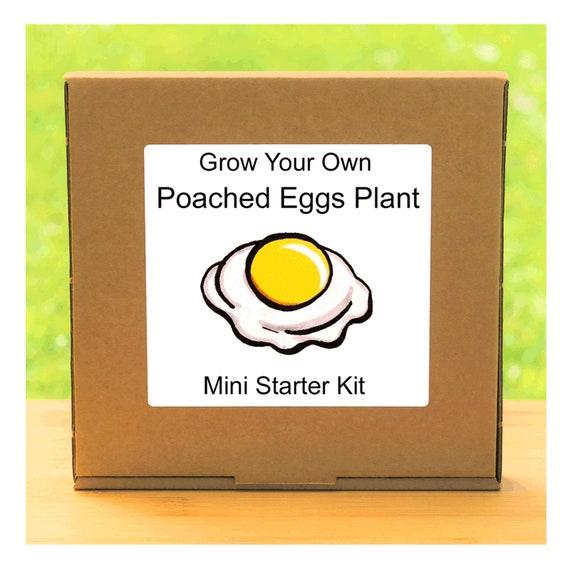 Grow Your Own Poached Eggs Flowers Growing Kit – Beginner friendly indoor flower gardening starter kit – Gift for men, women or children