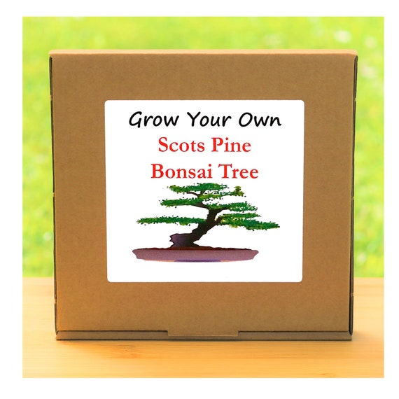 Gardening Gift - Grow Your Own Scots Pine Bonsai Tree Kit
