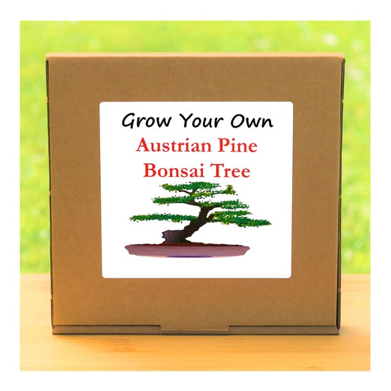 Gardening Gift - Grow Your Own Austrian Pine Bonsai Tree Kit