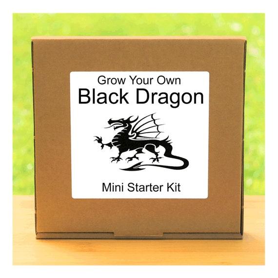 Grow Your Own Coleus Black Dragon Plant Growing Kit – Beginner friendly indoor gardening starter kit