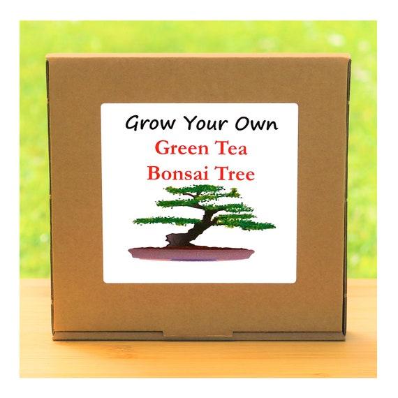 Grow Your Own Green Tea Bonsai Tree Kit