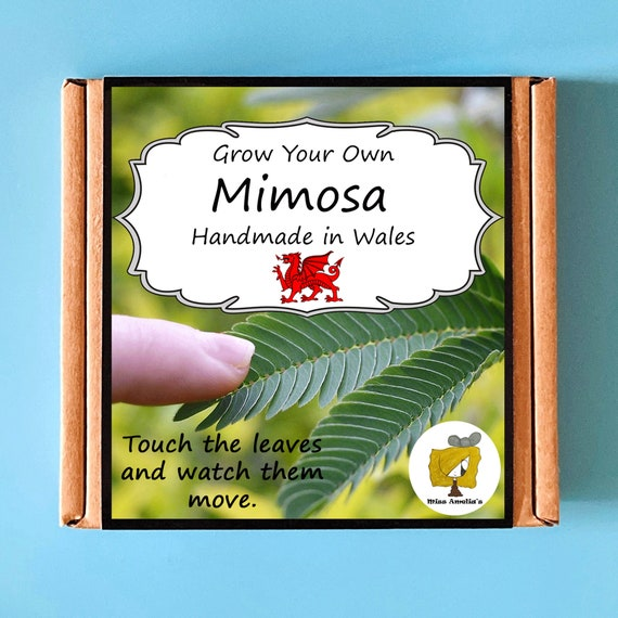 Grow Your Own Mimosa Plant Kit. Indoor Gardening Gift. Perfect Birthday Gift For Adults, Children, Kids. Planting Kit.