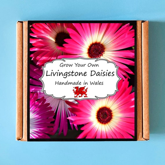 Grow Your Own Livingstone Daisy Plant Kit - Indoor Gardening Gift