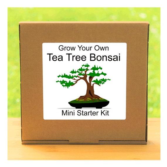 Grow Your Own Tea Tree Bonsai Growing Kit – Complete beginner friendly indoor gardening starter kit – Gift for men, women or children