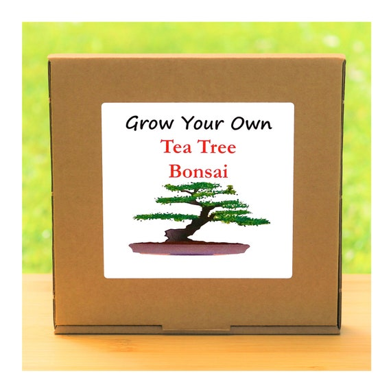 Grow Your Own Tea Tree Bonsai Kit