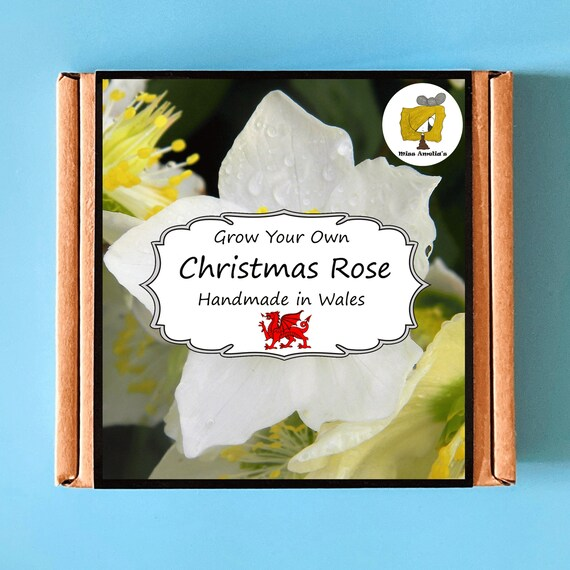 Grow Your Own Christmas Rose Plant Kit. Indoor Gardening Gift. Perfect Birthday Gift For Adults, Children, Kids. Flowers Planting Kit.