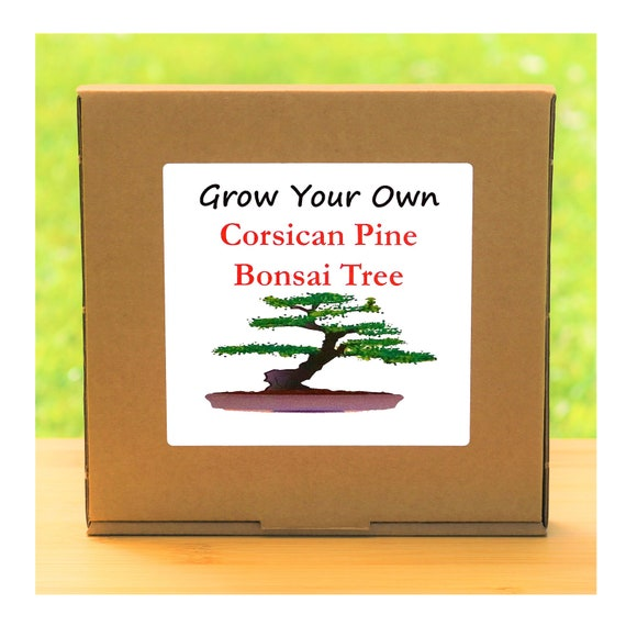 Gardening Gift - Grow Your Own Corsican Pine Bonsai Tree Kit