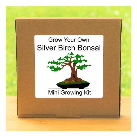 Grow Your Own Silver Birch Bonsai Tree – Complete beginner friendly indoor gardening starter kit – Gift for men, women or children