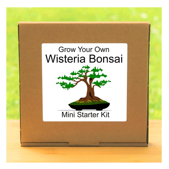 Grow Your Own Chinese Wisteria Bonsai Tree Growing Kit – Complete beginner friendly indoor starter kit – Gift for men, women or children