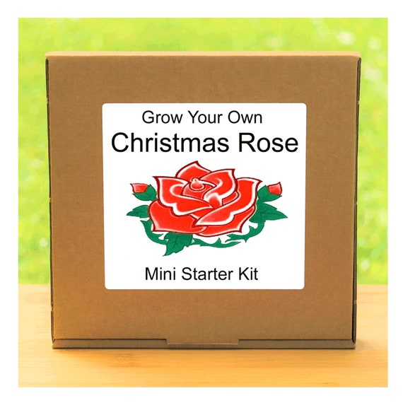 Grow Your Own Christmas Rose Plant Growing Kit – Complete beginner friendly indoor gardening starter kit – Gift for men, women or children