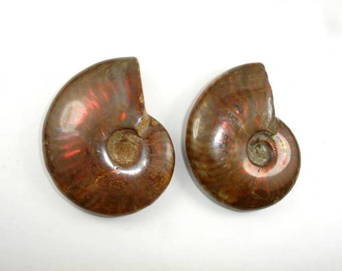 Ammonite Opalized Fossil Whole Shell, 1 piece (PNDT11)