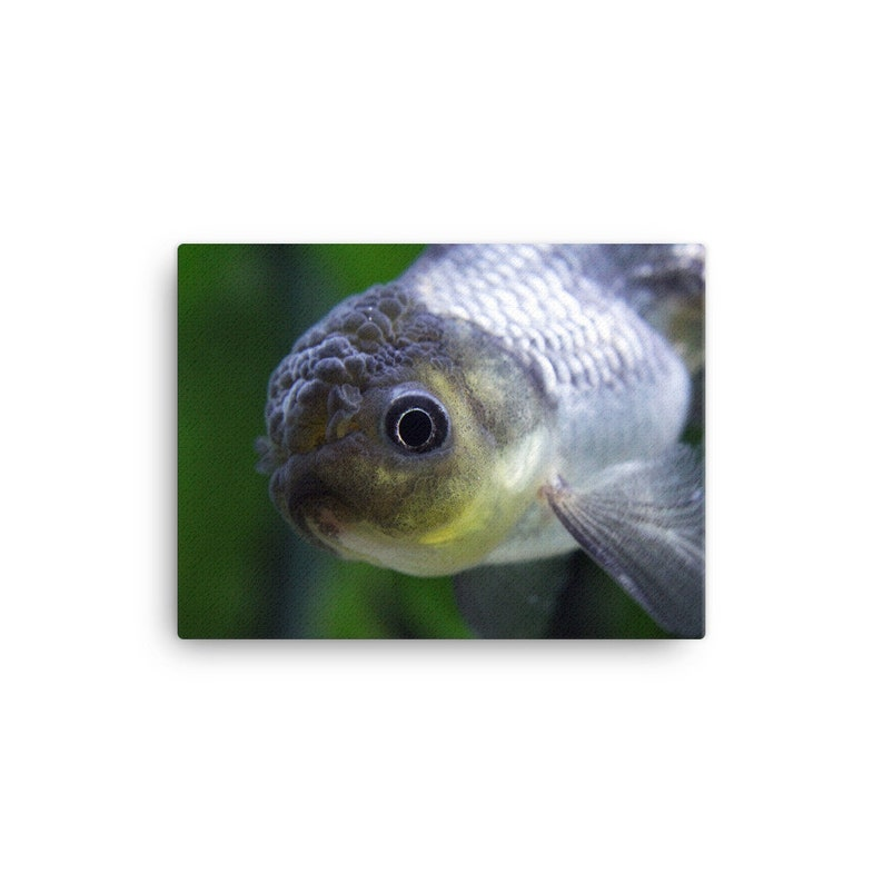 Photography Print Blue Oranda Goldfish Fish Aquarium Macro Portrait  Photography Canvas Wall Art Print