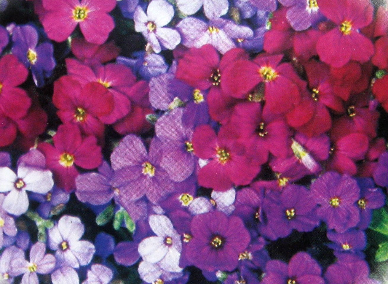 Rock Cress Aubrieta Flower Seeds Mix Colorful Flowers Seeds Etsy