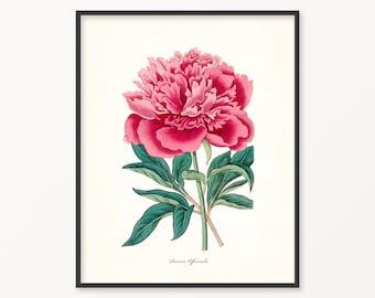 Peony Botanical Print No. 1, Botanical Art, Botanical Print, Wall Art, Printable, Digital Download, Printable Wall Art