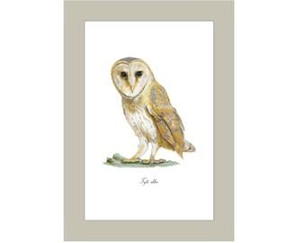 Tyto alba (Barn Owl) A4 Giclee Print