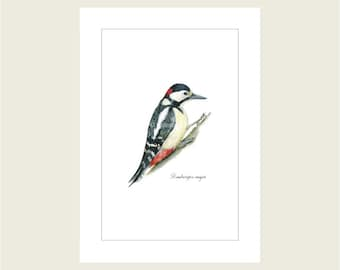 Dendrocopos major (Great Spotted Woodpecker) A4 Giclee Print