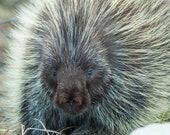 Porkcupine, nature print, nature photograph, animal print, animal photograph, American wildlife, native animals, cabin decor,