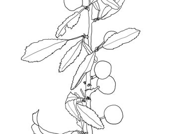 Colour in Sloes on Blackthorn twig by Alice Draws the Line. Botanical colouring in sheet Print & colour in Mindful creative activity for all