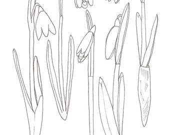 Colour in Snowdrops by Alice Draws the Line -a botanical colouring in sheet to print & colour in. Mindful creative activity for all ages
