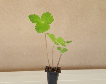 Ashitaba Plant 1 Plug (Aka Tomorrow's Leaf)-Organic