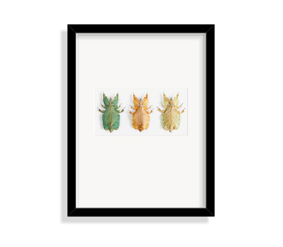 Drei Wandelnde Blätter / Echte Insekten / Designobjekt   Etsy