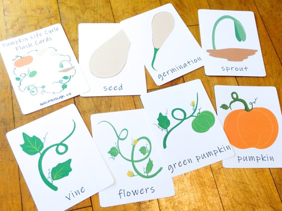 Pumpkin Life Cycle Flash Cards Printable Sequence Activity