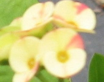 Crown of Thorns 'Bi Color' Euphorbia Millii potted plant BLOOMING SIZE
