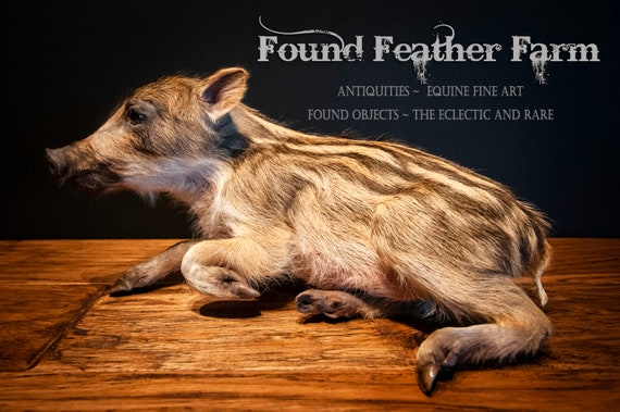 Wonderful Vintage Taxidermy of a Russian Wild Boar Piglet or Shoat